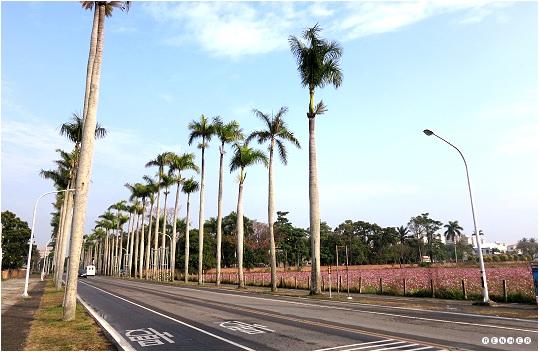 花海與成排的大王椰子樹,交織成生產路最美的風景