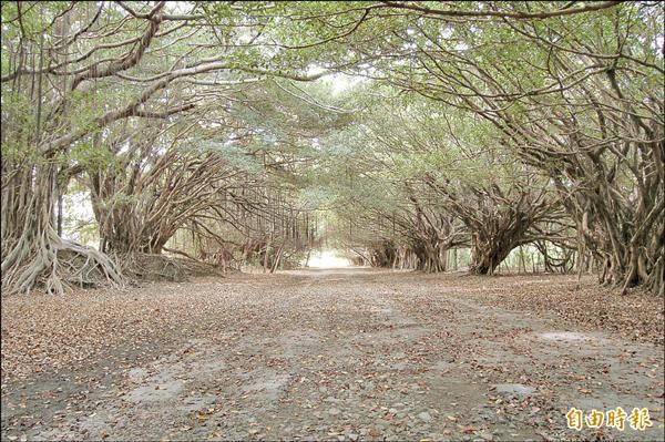 台南新營長勝營區開發 老樹隧道現地保留