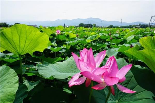 ▲2015幸福白河蓮花季。(圖/台南市政府提供)