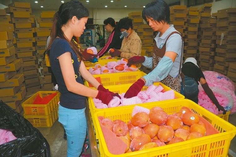 玉井蒸熱場處理外銷日本、韓國等地的愛文芒果,作業線都是滿檔。 本報資料照片